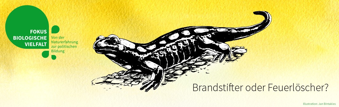 Feuersalamander (Illustration: Jan Bintakies)