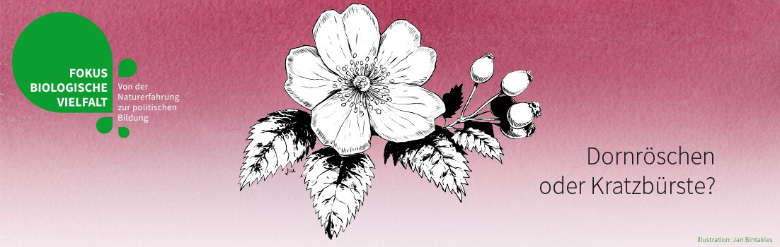 Wildrose (Illustration: Jan Bintakies)